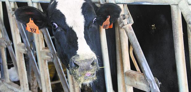A cow at Schmity Holsteins mugs for the camera last year.